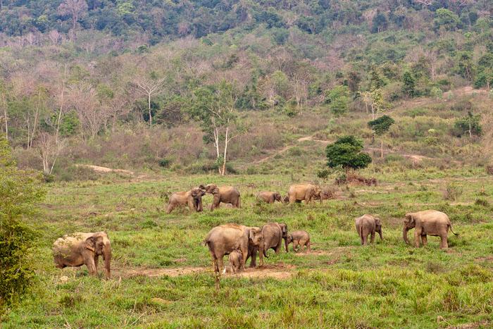 Villinorsuja Kui Buri National Parkissa Thaimaassa