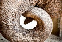 aasian norsu