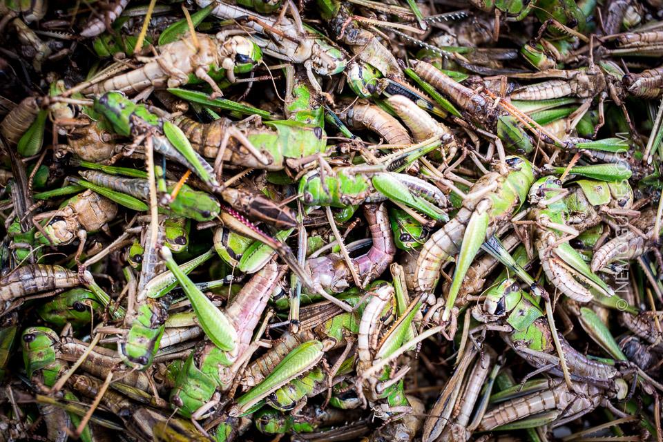 thaimaa paistettu heinäsirkka