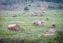 villi norsu thaimaa kui buri