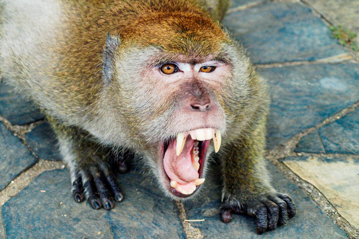 thaimaa vihainen apina